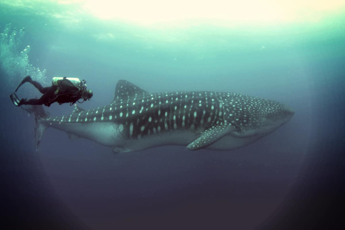 Wolf Island Galapos, Diving With Whale Shark
